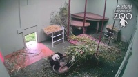 Panda playtime for Tian Tian at RZSS Edinburgh Zoo