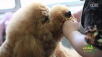 学习宠物美容大概需要多长时间-派多格宠物美容学校