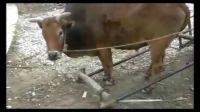 最牛的牛牛