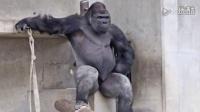 日本史上最帅猩猩走红_表情冷酷霸道总裁范儿