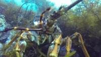 塔斯马尼亚自由潜水捕获龙虾鲍鱼
