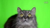 绿屏背景猫实拍AE视频素材
