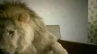 被老婆发现出轨的狮子君,你惨了-爆笑短片