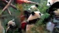 PANDA IN SHA ZOO