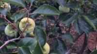 绿汀甜柿之浪漫柿爱果园真是美女们向往的天堂,釆个小酥梨摘2片绿汀新鲜柿叶一起吃便是美白丰胸的天然高Vc食品!