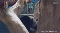 2015-07-22 圓仔享受獨家馬殺雞 (Giant Panda Yuan Zai enjoys the exclusive massage)