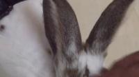 大兔子心跳很快