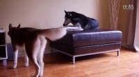 两只二哈为了争夺沙发吵了起来(字幕意思请自行脑补