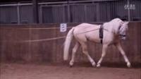 4 岁126 公分威尔斯公马,颜色palomino ,已经上鞍骑乘,有配种证书