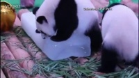 Giant panda triplets celebrate 1st birthday