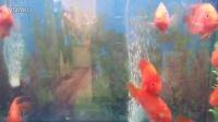 视频: 龙海制作-可爱的鱼儿-QQ-2776249318
