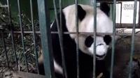 熊貓 Bai Xue 白雪