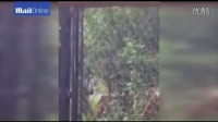 Shocking moment that young bear is savaged by tigers in zoo at Shanghai Wild Ani