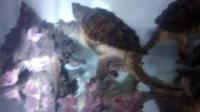 鳄龟-肉食性动物[动物世界][人与自然]