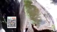 实拍游客掉进动物园被老虎叼走恐怖一幕