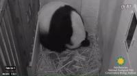 Giant Panda Mei Xiang Giving Birth to Cub August 22, 2015