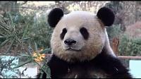 大熊猫拍证件照 边吃竹子一边摆Pose