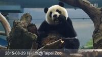 2015-08-29 圓仔吃窩窩頭 (The Giant Panda Yuan Zai)