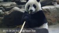 2015-08-29 圓仔吃竹桿 (The Giant Panda Yuan Zai)