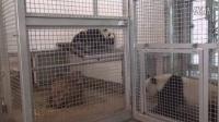 Adelaide Zoo Giant Pandas - Journey to Parenthood