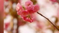 樱花摄影【万宝粥】