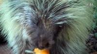 第一次吃到南瓜的豪猪,好吃哭了!