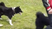俄罗斯东欧莱卡犬比赛视频