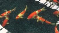A4 (5)日本锦鲤鱼哪里有卖?来金庄锦鲤园吧!4006-520-515