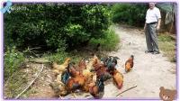 我的圖片MV_201510012318-王老的孔雀養殖場