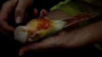 超乖的凤梨小太阳鹦鹉2