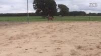 3 岁障碍母马,体态优美,肩高173,步态非常有弹性,正在教上鞍,来自很好的母系线