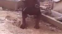 视频: 莱州红犬花舌头地瓜媳妇QQ823333612