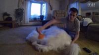 国外一位小哥,在萨摩换毛期一小时内梳下来的浮毛。。。