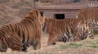 Amazing and shocking story of a serious tiger fight at the GW Zoo