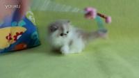 阳光猫舍-CFA注册乳白梵纹异国长毛弟弟2个月