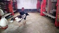 微信:DJ1144160471五斤打七斤越南斗鸡--优酷柔道用传承神器还是图片