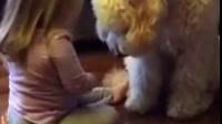 小萝莉教她家大汪Paul怎么握手,狗狗的表情有点懵