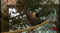 怪兽来了86期.世界最大蝙蝠 翼展近2米
