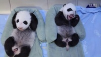 Toronto Zoo Giant Panda Cubs at 6 Weeks!