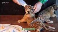 冬季到动物园抱抱可爱的小老虎吧