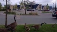 加拿大鹅爸爸妈妈带着宝宝过马路,超级可爱!