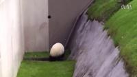 被熊猫蠢哭!非要往沟里跑,掉进去了自己又出不来
