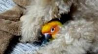 视频: 就藏这儿~(贵宾QQ和金太阳鹦鹉Bonnie)