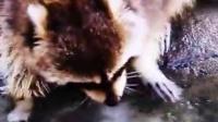 试图洗棉花糖的浣熊