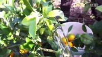 正宗 赣南- 脐橙!汁多味美,富含丰富的维生素,杜绝染色,打蜡,催熟,防腐剂等危害健康行为,绝对安全绿色食品,自家果园种植,保证百分百新鮮送到!纯天然自然熟,