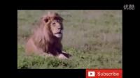 狮子VS老虎 真正的王者