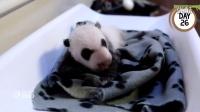 First 100 Days Of Toronto Zoos Giant Panda Cubs
