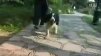 泰迪犬生产后母狗怎么照顾小狗怎么照顾