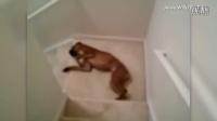 狗狗们的各种下楼梯的姿