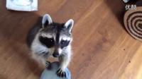 贴心的小浣熊给打喷嚏的主人递上纸巾